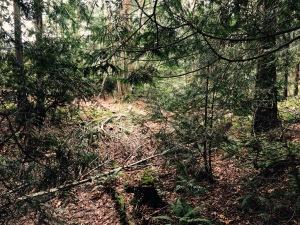 Felled brances, fragrance of cedar