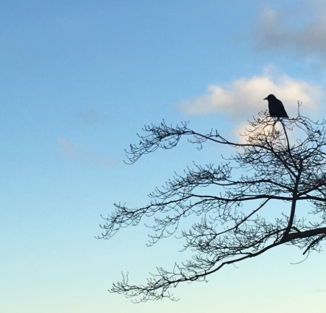 Old crow lingers